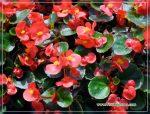 Комнатные растения вечноцветущая бегония – уход за комнатными сортами и посадка травянистого растения в открытом грунте, а также особенности и фото махрового гибрида цветка
