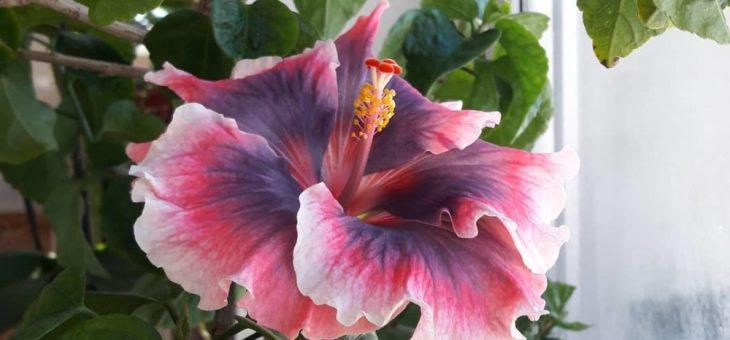 Комнатные розы фото и названия уход в домашних условиях фото – уход в домашних условиях, как размножить и обрезать гибискус в домашних условиях, формирование куста, почему растение называют цветок смерти, фото