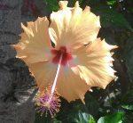 Комнатный цветок гибискус китайская роза сорта и виды – что это за цветок, каково его научное название, какие у него есть сорта и виды, а также фото того, как выглядит комнатное растение