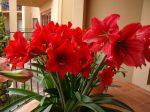 Комнатный цветок гиппеаструм – фото, уход в домашних условиях, сорта, посадка, размножение гиппеаструма
