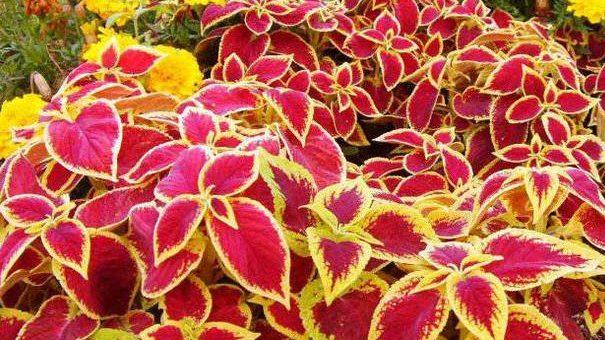 Комнатный цветок колеус фото – уход в домашних условиях , выращивание, размножение, посадка, пересадка, обрезка, виды, фото растения