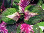 Комнатный колеус – Колеус – уход в домашних условиях. особенности выращивания колеуса: полив, подкормка, вредители