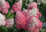 Красная метельчатая гортензия – Гортензия метельчатая — сорта, фото в ландшафтном дизайне, цена семян и где купить в Москве и СПб