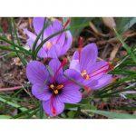 Крокус шафран фото – Шафран посевной Осеннецветущий крокус посевной (Crocus sativus) Виды садовых растений