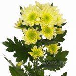 Кустовая хризантема радость – Кустовая хризантема кремовая Радость кремовая (Radost cream).Купить недорого кустовые хризантемы, букет хризантем с доставкой