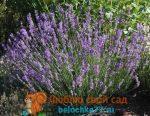 Лаванда цветок – посадка в открытый грунт в саду, в домашних условиях, в Подмосковье, в Ленинградской области, размножение цветка, уход