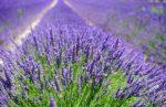 Лаванда куст – посадка в открытый грунт в саду, в домашних условиях, в Подмосковье, в Ленинградской области, размножение цветка, уход