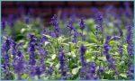 Лаванда на урале посадка и уход в домашних условиях – посадка в открытый грунт в саду, в домашних условиях, в Подмосковье, в Ленинградской области, размножение цветка, уход