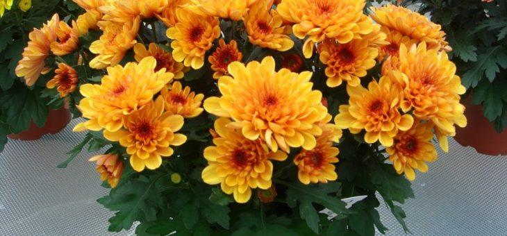 Летняя хризантема – классификация, характеристика популярных сортов, особенности посадки и ухода, способы размножения, применение в дизайне участка
