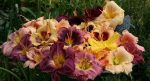 Лилейники фото цветов – посадка и уход в открытом грунте, фото, сорта, размножение, выращивание и сочетание в ландшафтном дизайне