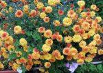 Многолетние низкорослые хризантемы – уход и посадка, выращивание кустовых и шаровидных цветков в открытом грунте