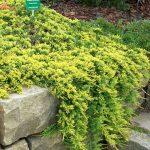Можжевельник блю карпет фото в ландшафтном дизайне – Можжевельник горизонтальный Голден Карпет (Juniperus horizontalis Golden Carpet),купить можжевельник,можжевельник посадка и уход,можжевельник стелющийся,хвойные кустарники,можжевельник горизонтальный,купить саженцы,посадка и уход,можжевельник фото