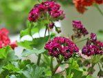 Новые сорта герани фото – фото, какие сорта существуют на сегодняшний день, пошаговая инструкция по выращиванию, уходу и размножению растения