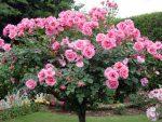 Парковая роза в ландшафтном дизайне фото – фото, сорта, шрабы в ландшафтном дизайне, посадка, уход во время и после цветения, размножение, выращивание, обрезка, видео