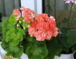 Пеларгония фото сорта – что это за растение, какие есть сорта (вектис, красная, суприм, эппл блоссом и другие) – их описание и фото, а также уход в домашних условиях