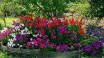 Петуния фото цветов на клумбе – выращивание рассады в емкостях, таблетках, сочетание петунии с другими цветами, варианты оформления клумб