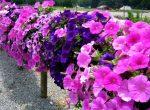 Петунья цветы – ампельная петуния, махровая, гибридная, каскадная, белая. Как купить семена петунии, рассаду.