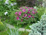 Пионы древовидные фото – Древовидные пионы, их разновидности, особенности выращивания и рекомендации по уходу. Древовидный пион в ландшафтном дизайне
