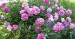 Пионы кустовые фото – посадка и уход в открытом грунте, выращивание и сочетание в ландшафтном дизайне, фото, размножение сорта