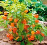 Плоды физалиса фото – посадка и размножение, выращивание и уход. Сорта и виды физалиса, вредители и болезни, подкормка и полив, высадка в грунт, фото и видео