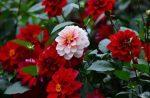 Помпонные георгины и шаровидные – Георгины в саду (75 фото): однолетние, многолетние, шаровидные, помпонные, игольчатые, другие виды, лучшие сорта, посадка, уход в открытом грунте, выращивание из клубней, семян, в ландшафтном дизайне |