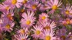 Растения цветущие до поздней осени – названия, сорта, описание, картинка посадки, как создать цветник, какие растения использовать, выращивание, уход осенью (20 фото)