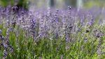 Размножение черенками лаванда – Размножение лаванды черенками и семенами. Как вырастить лаванду