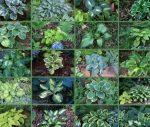 Разновидности растения хоста
