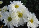Ромашка хризантема фото – классификация, характеристика популярных сортов, особенности посадки и ухода, способы размножения, применение в дизайне участка