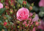 Роза комнатные растения – правила посадки, оптимальные условия выращивания, особенности ухода, агротехника летом, осенью, зимой, весной
