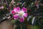 Роза сизая в дизайне сада – Роза сизая — Роза дикорастущая — Лиственные деревья и кустарники — Декоративные деревья и кустарники