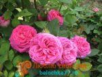Розовая сказка глоксиния – Глоксиния розовая мечта, сказка и феерия: фото с описанием разновидностей растения, способы размножения, а также особенности ухода за цветком