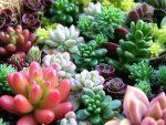 Розовые суккуленты – фото и названия, каталог, виды, сорта, листовые, цветущие разновидности, домашние (комнатные растения), садовые