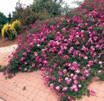 Розы почвопокровные в ландшафтном дизайне – Розы почвопокровные посадка и уход. Почвопокровные розы в ландшафтном дизайне. Невысокие поникающие почвопокровные сорта