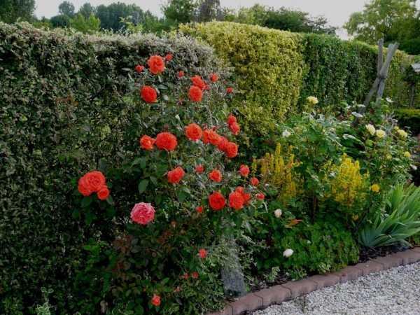 плетистые розы в ландшафте фото его поэме