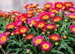 Семена хризантемы фото семян – как ухаживать, сорта, посадка, размножение, выращивание из семян, болезни и вредители, фото, видео
