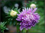 Соцветие астры называется – Астра однолетняя, описание растения, биологические и декоративные характеристики, классификация, ботаническое название. — 8 Июля 2014