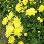 Солнышко хризантема