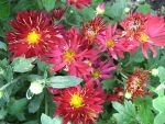 Сонечко хризантема – хризантема корейская Сонечко цветок 8-10см,высота куста 70см,цветение- с августа
