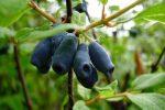 Сорт жимолость – сорта описание фото ягод, крупноплодные урожайные сорта для Средней полосы, Сибири и Урала, сладкие съедобные сорта, отзывы