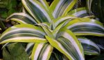 Сорта драцена – Драцена, сорта   Supersadovod — о саде и огороде просто и интересно