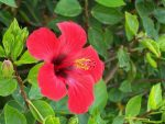 Сорта комнатного гибискуса – фото, почему называется цветком смерти, виды, сорта, посадка и уход в домашних условиях, открытом грунте, размножение