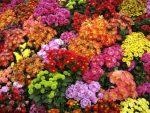 Сорта хризантема – описание и разновидности, популярные сорта и способы размножения, правила ухода и рекомендации