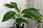 Спатифиллумом фото – Цветок спатифиллум размножение, уход и болезни, как заставить хорошо расти и регулярно цвести в домашних условиях