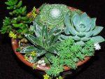 Суккулент с прозрачными листьями – фото и названия, каталог, виды, сорта, листовые, цветущие разновидности, домашние (комнатные растения), садовые
