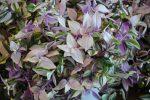 Традесканция блоссфельда фото – названия, фото, уличная, Андерсона, силламонтана, приречная, Блоссфельда, белоцветковая, разноцветная, мелколистная, другие