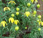 Тунгусский клематис – Клематис тунгусский выращивание из семян. Клематис тангутский выращивание из семян и уход за саженцами