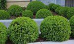 Туя фото на даче – выбираем уличные растения в горшках сорта «Шаровая» туя и «Брабант» для сада, варианты применения можжевельника на садовом участке