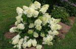 Уникальная гортензия метельчатая – Многоликая метельчатая гортензия (Hydrangea paniculata) и альтернативный взгляд на формирующую «классическую» обрезку. Часть 2