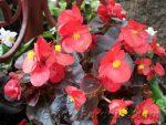 Вечноцветущая бегония розовая – Сорта бегонии вечноцветущей для сада. Как садить и выращивать бегонии? растения для ландшафтного дизайна